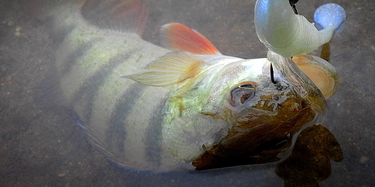 Stage de pêche aux leurres souples