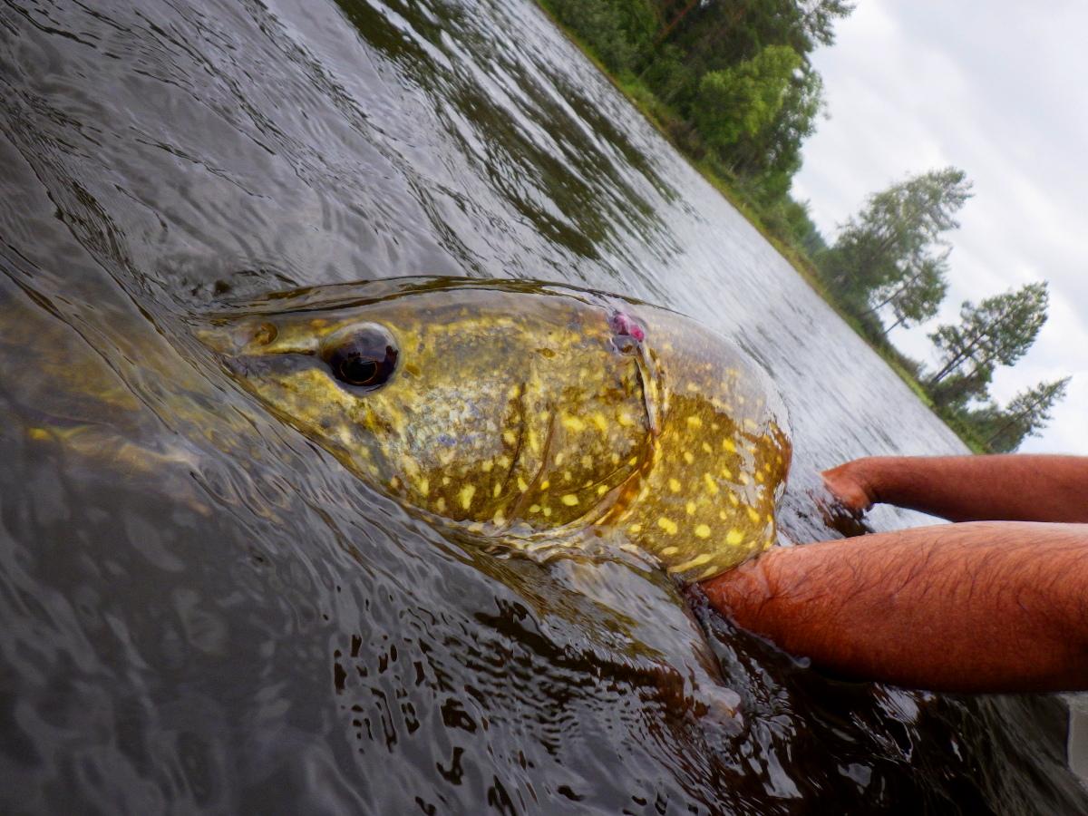 Séjour de pêche en Suède, brochet