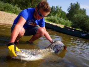 Guidage pêche silure